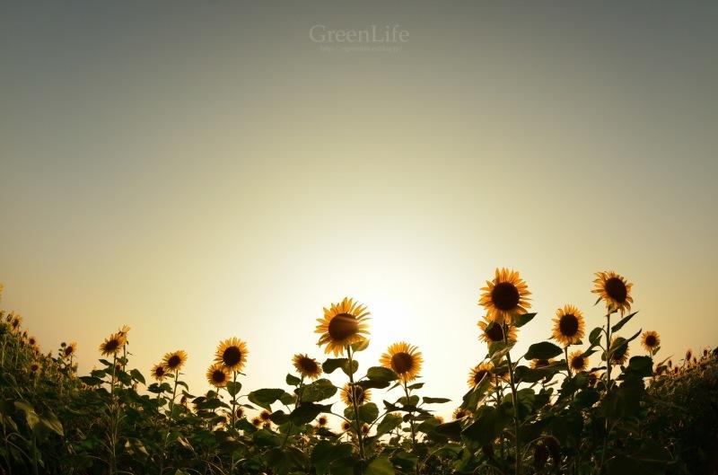 Sunflower field_f0321522_11351736.jpg