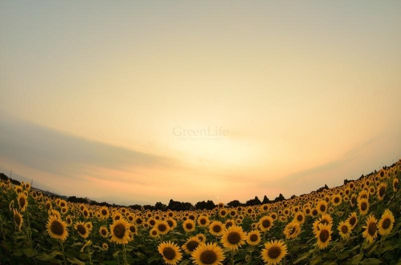 Sunflower field_f0321522_11370997.jpg