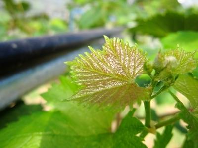 葡萄の葉っぱ_d0336530_16580765.jpg