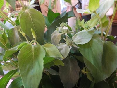 オークリーフ(秋色紫陽花とリーベンウォルシー)_f0049672_17141832.jpg