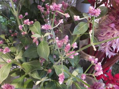 オークリーフ(秋色紫陽花とリーベンウォルシー)_f0049672_1714466.jpg