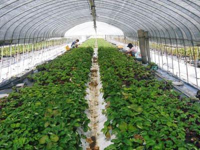 熊本イチゴ『さがほのか』 12月上旬からの出荷に向け今年も元気な苗を育苗中!_a0254656_17491317.jpg