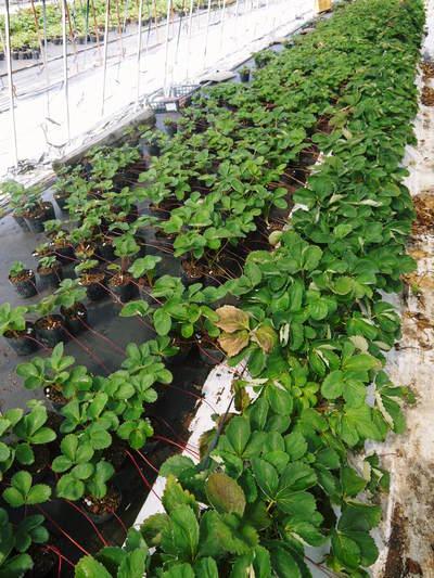熊本イチゴ『さがほのか』 12月上旬からの出荷に向け今年も元気な苗を育苗中!_a0254656_1814438.jpg