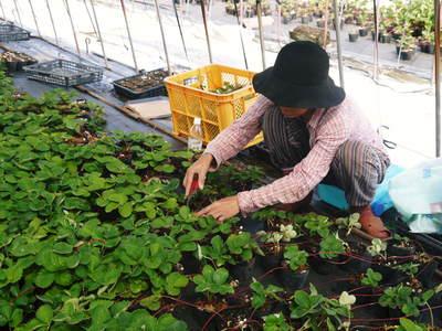 熊本イチゴ『さがほのか』 12月上旬からの出荷に向け今年も元気な苗を育苗中!_a0254656_18172620.jpg