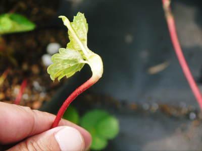 熊本イチゴ『さがほのか』 12月上旬からの出荷に向け今年も元気な苗を育苗中!_a0254656_18204555.jpg