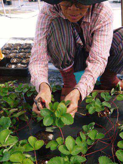 熊本イチゴ『さがほのか』 12月上旬からの出荷に向け今年も元気な苗を育苗中!_a0254656_1845595.jpg