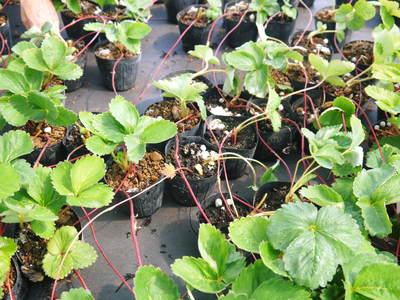 熊本イチゴ『さがほのか』 12月上旬からの出荷に向け今年も元気な苗を育苗中!_a0254656_1881867.jpg