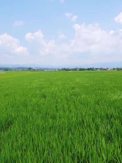 砂田米 『砂田のこだわりれんげ米』 平成27年度米は残りわずか!平成28年度米はまもなく出穂です!_a0254656_18425464.jpg