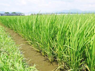 砂田米 『砂田のこだわりれんげ米』 平成27年度米は残りわずか!平成28年度米はまもなく出穂です!_a0254656_1856297.jpg