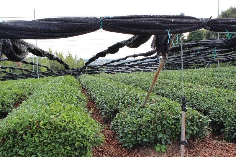 紅茶を追っかけて、西尾_b0220318_21083677.jpg