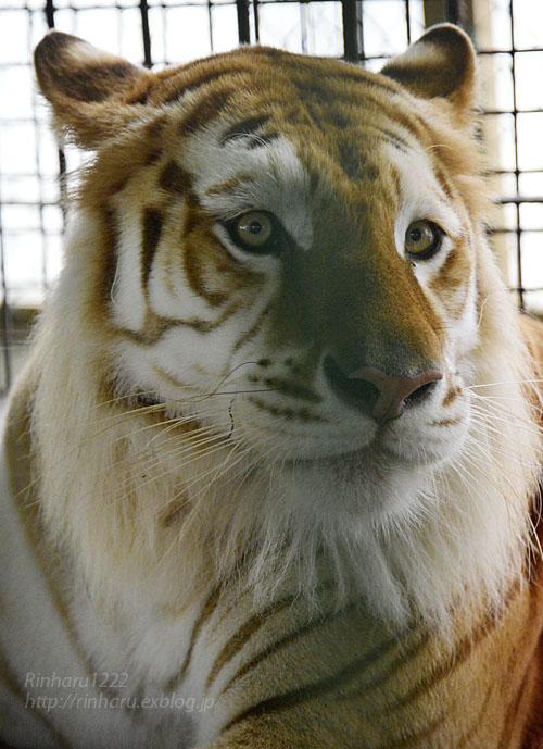 2016.8.28 岩手サファリパーク☆トラのボルタ【Golden tiger】_f0250322_22105525.jpg