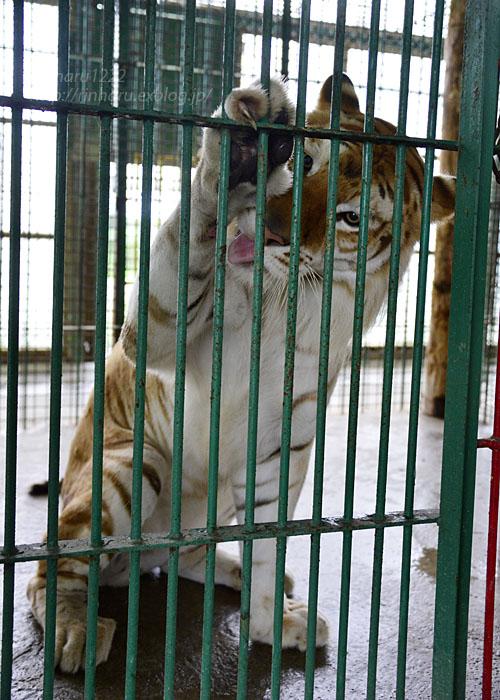 2016.8.28 岩手サファリパーク☆トラのボルタ【Golden tiger】_f0250322_2210599.jpg