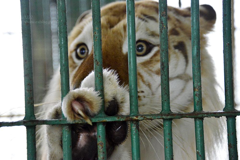 2016.8.28 岩手サファリパーク☆トラのボルタ【Golden tiger】_f0250322_2211660.jpg