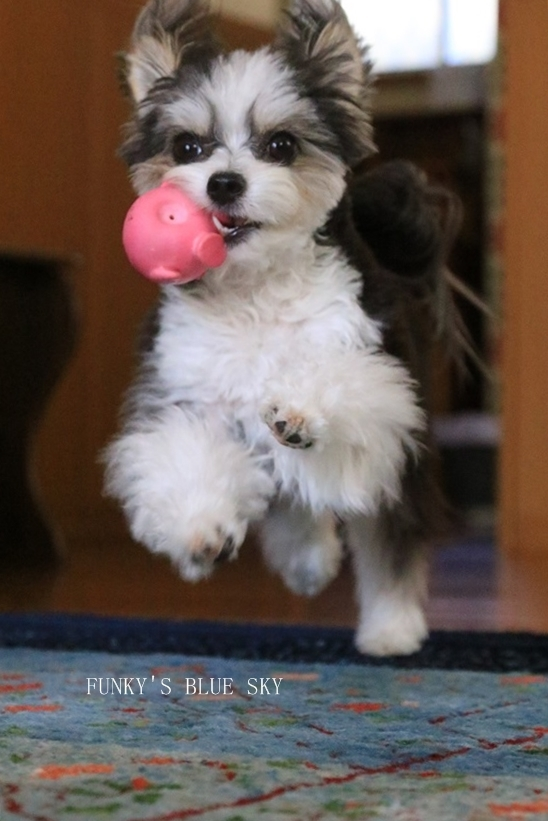 「持ってきたよ~♪」な飛行犬? (+動画)_c0145250_11113193.jpg