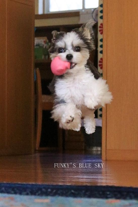 「持ってきたよ~♪」な飛行犬? (+動画)_c0145250_11113749.jpg