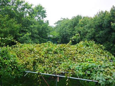 完全無農薬栽培の水源キウイ元気に成長中(2019)!11月中旬より出荷予定!キウイは冬のフルーツです!_a0254656_17426.jpg
