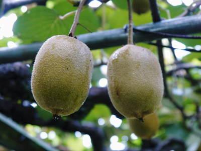 水源キウイ 今年も完全無農薬で育ててます!収穫は11月下旬!!キウイは冬のフルーツです!_a0254656_1763011.jpg