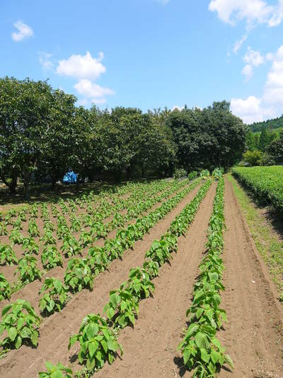 完全無農薬栽培の水源キウイ元気に成長中(2019)!11月中旬より出荷予定!キウイは冬のフルーツです!_a0254656_18354852.jpg