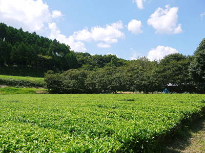 完全無農薬栽培の水源キウイ元気に成長中(2019)!11月中旬より出荷予定!キウイは冬のフルーツです!_a0254656_18442074.jpg