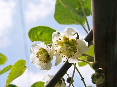 水源キウイ 今年も完全無農薬で育ててます!収穫は11月下旬!!キウイは冬のフルーツです!_a0254656_18475032.jpg