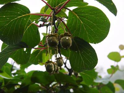 水源キウイ 今年も完全無農薬で育ててます!収穫は11月下旬!!キウイは冬のフルーツです!_a0254656_1853016.jpg