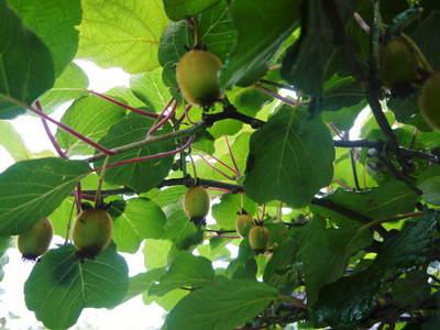 水源キウイ 今年も完全無農薬で育ててます!収穫は11月下旬!!キウイは冬のフルーツです!_a0254656_1857477.jpg