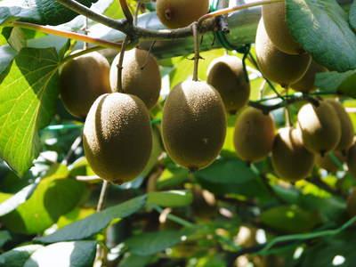 完全無農薬栽培の水源キウイ元気に成長中(2019)!11月中旬より出荷予定!キウイは冬のフルーツです!_a0254656_1921366.jpg