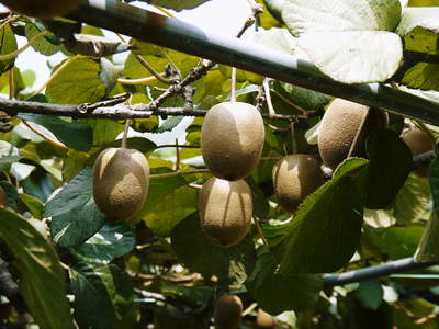 水源キウイ 今年も完全無農薬で育ててます!収穫は11月下旬!!キウイは冬のフルーツです!_a0254656_1927935.jpg