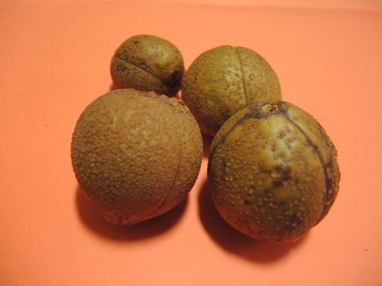 今年も橡の実を拾いました_e0232277_11275938.jpg