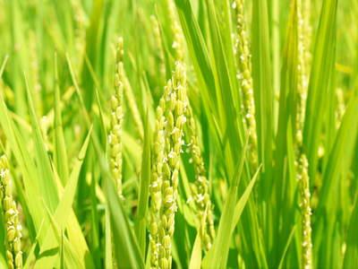 菊池水源棚田米 お米の花(出穂)の様子 平成27年度の『菊池水源棚田米』は残りわずかです!_a0254656_17424257.jpg