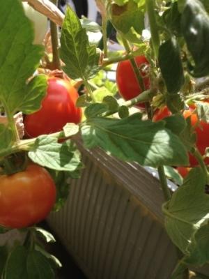 トマトの凛々子さん その④_e0012580_09102467.jpg