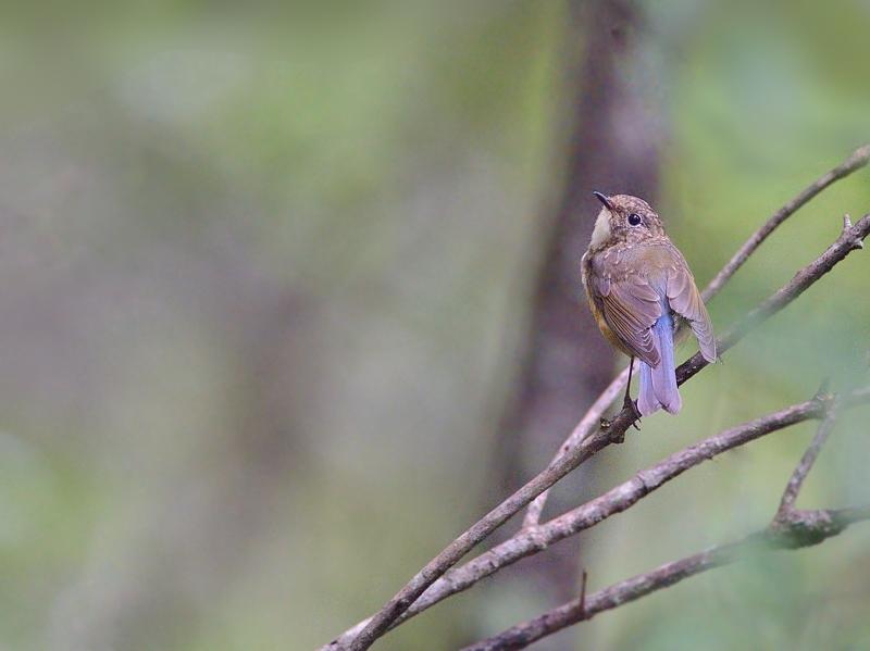 お山で鳥見(5)(ルリビタキとオオルリの幼鳥)_a0204089_5594355.jpg