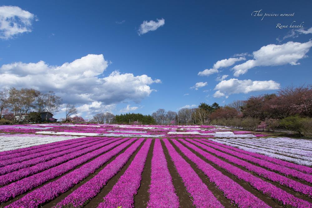 芝桜と青空に浮かぶ白雲が美しかった! まさに春本番_c0137403_15324092.jpg