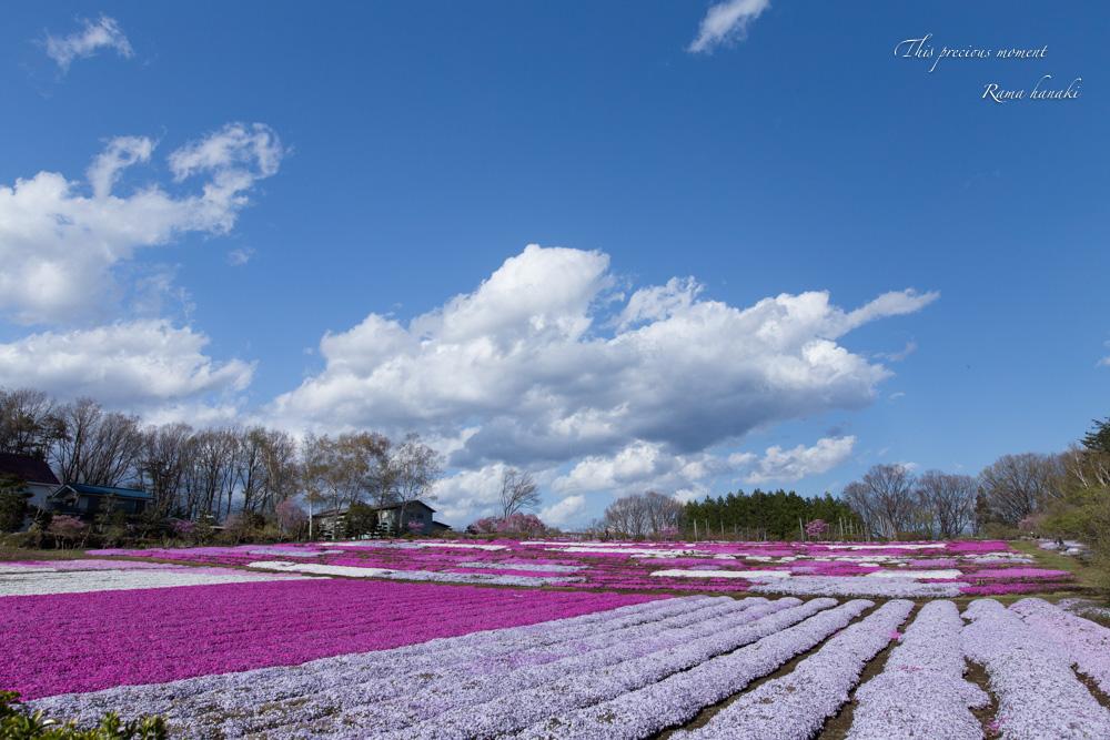芝桜と青空に浮かぶ白雲が美しかった! まさに春本番_c0137403_15324694.jpg