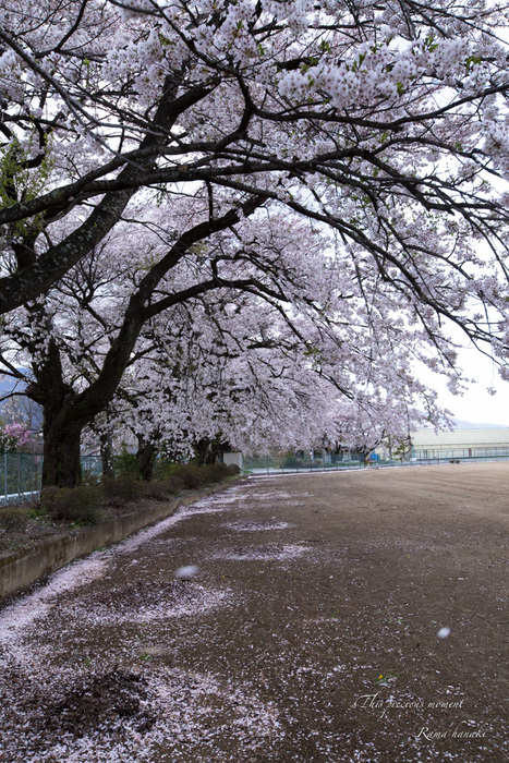 芝桜と青空に浮かぶ白雲が美しかった! まさに春本番_c0137403_15325478.jpg