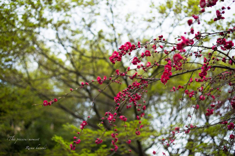 芝桜と青空に浮かぶ白雲が美しかった! まさに春本番_c0137403_1533773.jpg