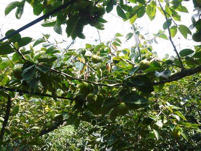 太秋柿 古川果樹園 今年も順調に成長中!でも思わぬことが!8月に雹が降ったんです!(前編)_a0254656_19205454.jpg