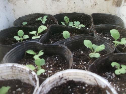白菜の苗..などなど_b0137932_10462477.jpg