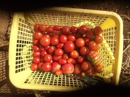 秋野菜の準備は停滞中です。_b0137932_11131638.jpg