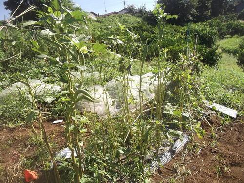 秋野菜の準備は停滞中です。_b0137932_1172053.jpg