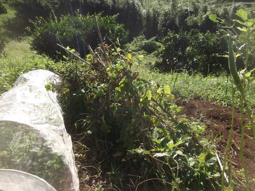 秋野菜の準備は停滞中です。_b0137932_1181275.jpg