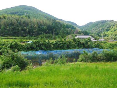太秋柿 古川果樹園 今年も順調に成長中!でも思わぬことが!8月に雹が降ったんです!(後編)_a0254656_1952720.jpg