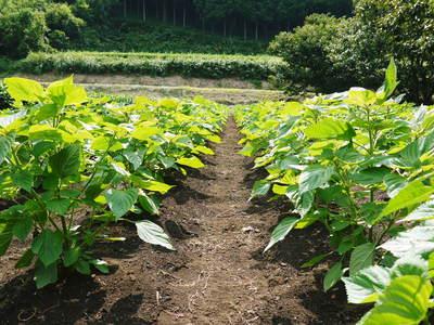 『えごま油』再入荷!今ならお待たせすることなく出荷可能!熊本県菊池市産の無農薬栽培のエゴマです!!_a0254656_19165740.jpg