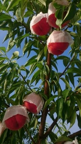 かぐや桃明日収穫です。_c0223089_11264950.jpg