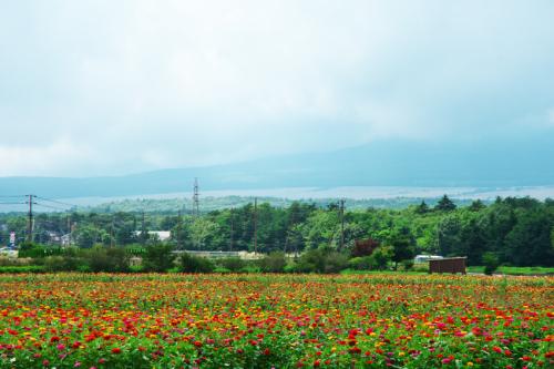 山中湖村 花の都公園の百日草とサンパチェンス_a0263109_20455555.jpg