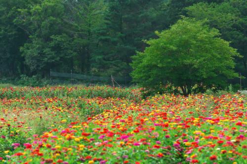 山中湖村 花の都公園の百日草とサンパチェンス_a0263109_20475727.jpg