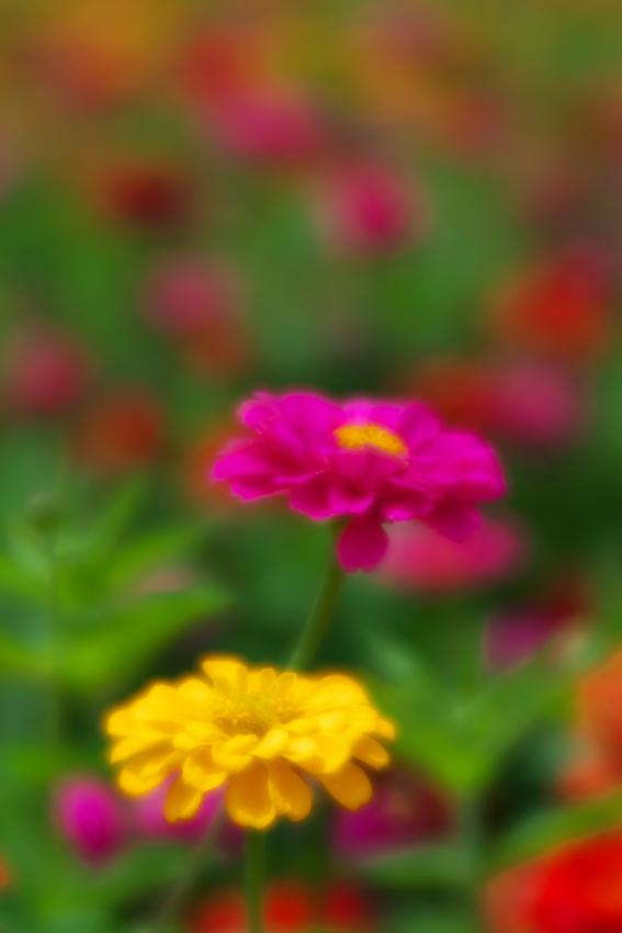 山中湖村 花の都公園の百日草とサンパチェンス_a0263109_20475834.jpg
