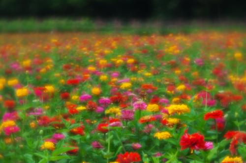 山中湖村 花の都公園の百日草とサンパチェンス_a0263109_20475856.jpg