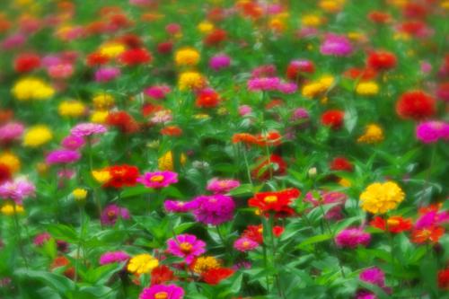 山中湖村 花の都公園の百日草とサンパチェンス_a0263109_20475858.jpg