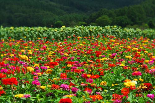 山中湖村 花の都公園の百日草とサンパチェンス_a0263109_20480272.jpg